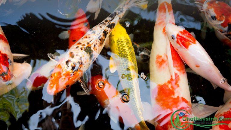 Hướng dẫn cách cho cá Koi ăn
